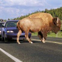 a-buffalo-obstructing-traffic