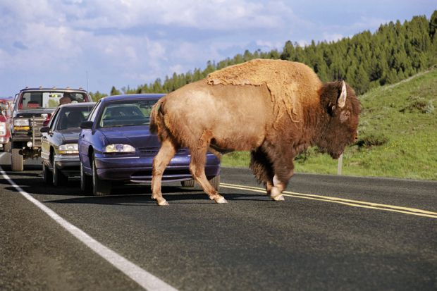 a-buffalo-obstructing-traffic